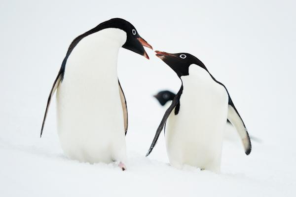 RYALE_Antarctica_Penguins-29