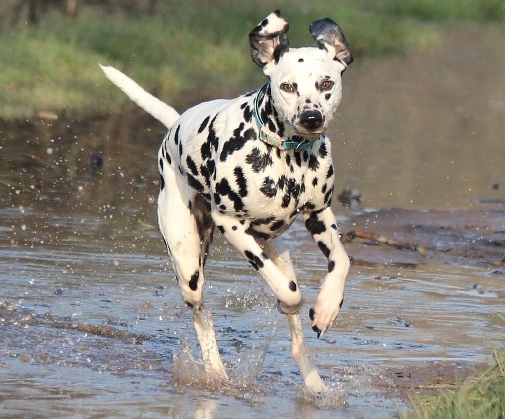 Výsledek obrázku pro dalmatin run