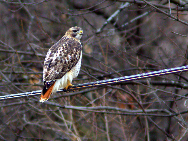 Red-tailed Hawk 20130119
