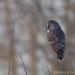 Chouette lapone / Strix nebulosa / Great Grey Owl by RichardDumoulin