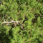 Garden Inventory: Ming Fern Asaparagus (Asparagaus retrofractus) - 7