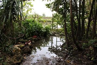 墾丁香蕉灣堅實的海岸林維持地下水源,造就全台首屈一指的陸蟹棲地。