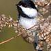 Black-capped Chickadee by ctberney