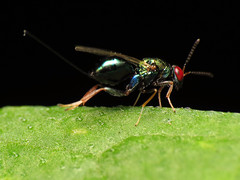Red Eyed Wasp