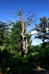 Dead Oak In Color