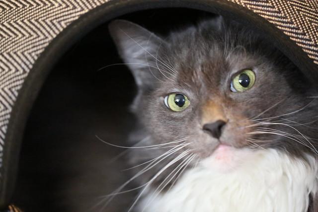 Nimrod Cat