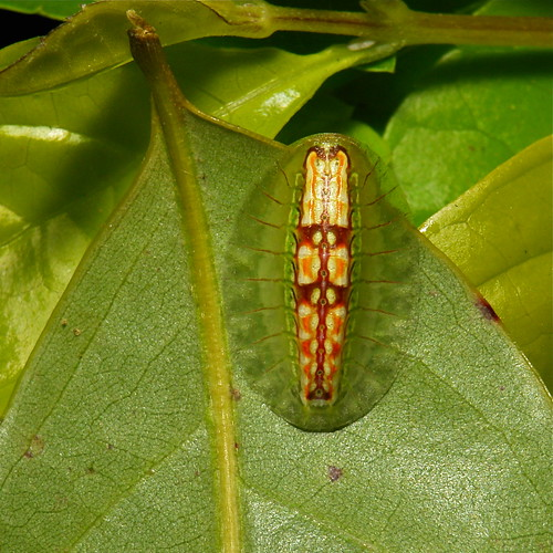 Slug Caterpillar (Cup Moth, Limacodidae)