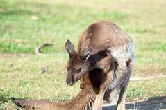 white-tailed deer(0.0), musk deer(0.0), wallaby(1.0), animal(1.0), marsupial(1.0), mammal(1.0), kangaroo(1.0), fauna(1.0), safari(1.0), wildlife(1.0),