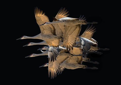 [フリー画像素材] 動物 (その他), 鶴・ツル, カナダヅル, 鳥類 - 飛ぶ ID:201212230400