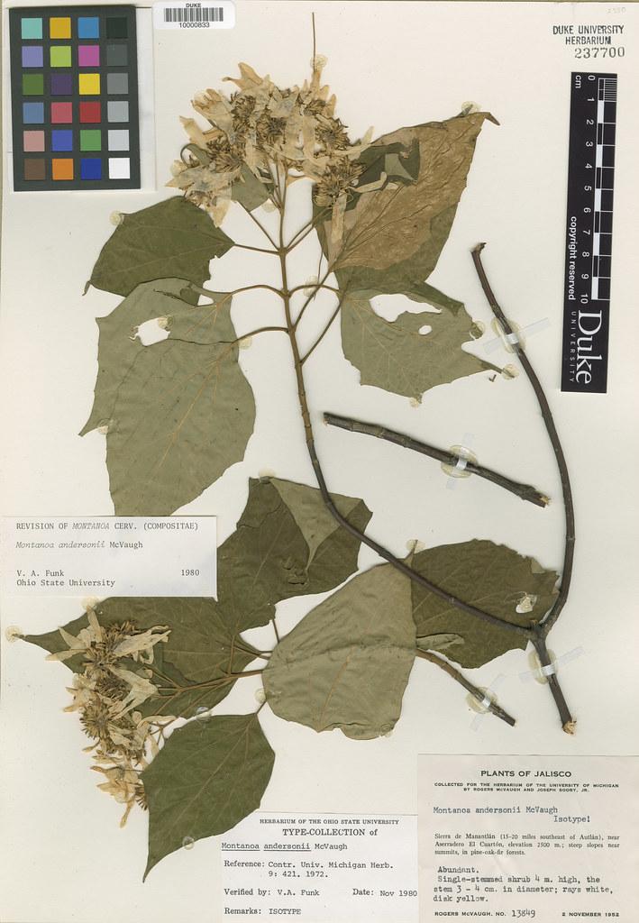 Asteraceae_Montanoa andersonii
