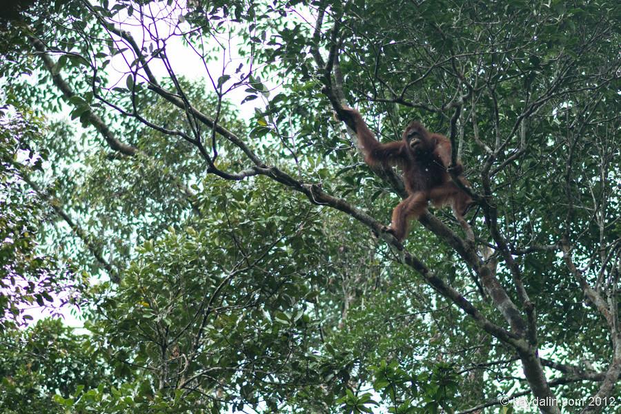орангутанг в борнер