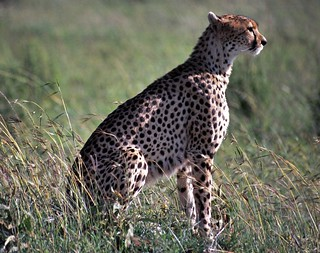 Female Cheetah (Acynonyx jubatus)