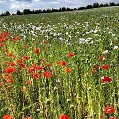 Champs de fleurs. #poitoucharentes #gang_family #igersfrance #flowers #gf_france #poppies #field - Photo of Vallans