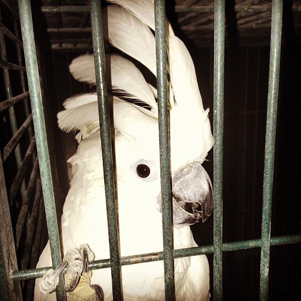 Sara #bird the #cockatoo #parrot in #detroit