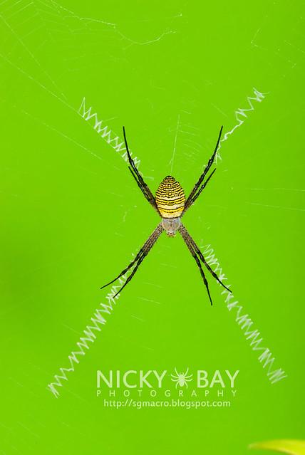 St Andrew's Cross Spider (Argiope aemula) - DSC_2858