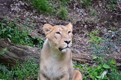 雌のインドライオン (Asiatic Female Lion)
