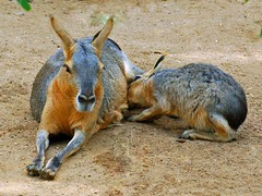 rabbit(0.0), domestic rabbit(0.0), rabits and hares(0.0), animal(1.0), pet(1.0), mammal(1.0), fauna(1.0), macropodidae(1.0), wildlife(1.0),