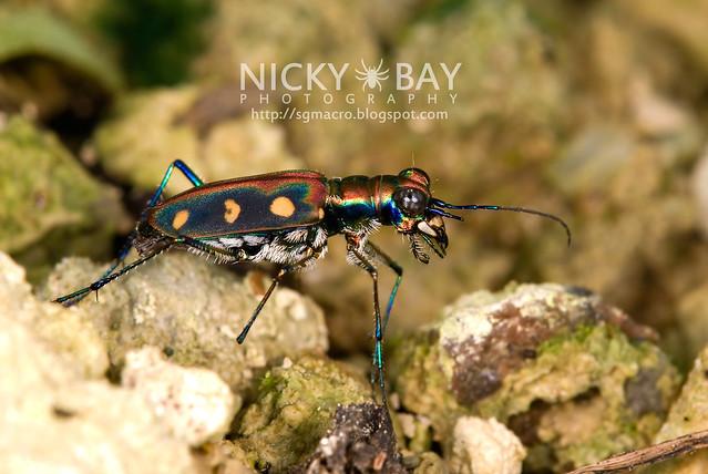 Tiger Beetle (Cicindelinae) - DSC_6978