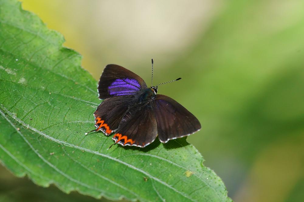 紫日灰蝶(紅邊黃小灰蝶)-02