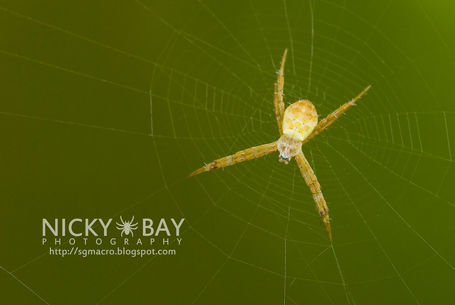 St Andrew's Cross Spider (Argiope sp.) - DSC_8131