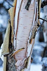 I <3 Birch bark
