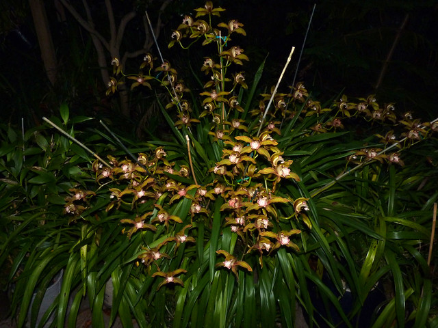 Cymbidium Moira 'Del Norte' hybrid orchid 12-12
