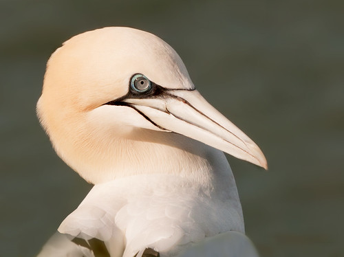 Gannet Portrait by Andy Pritchard - Barrowford