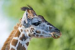[Free Images] Animals (Mammals), Giraffes ID:201301031600