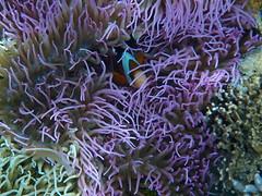 coral reef(1.0), animal(1.0), coral(1.0), coral reef fish(1.0), organism(1.0), marine biology(1.0), invertebrate(1.0), stony coral(1.0), cnidaria(1.0), reef(1.0), pomacentridae(1.0), sea anemone(1.0),