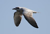 Gull-billed Tern in flight by Ingeborg van Leeuwen