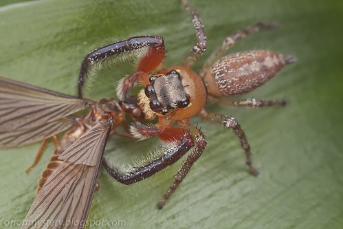 jumping spider with winged termite prey IMG_3952 copy