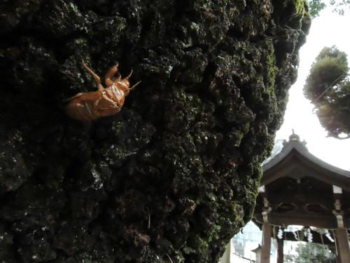 2012-12-31新宿西向天神社空蝉