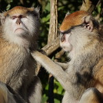 Patas Monkeys groom