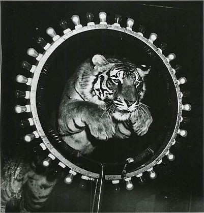 Fellig, Arthur (Weegee)(1899-1968) - 1955 Tiger Jumping Through Hoop at Circus
