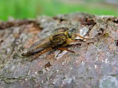 Robber Fly (Machimus chrysitis)