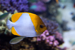 flower(0.0), goldfish(0.0), coral reef(1.0), animal(1.0), anemone fish(1.0), fish(1.0), yellow(1.0), fish(1.0), coral reef fish(1.0), marine biology(1.0), macro photography(1.0), fauna(1.0), close-up(1.0), underwater(1.0), reef(1.0), blue(1.0), pomacanthidae(1.0), aquarium(1.0),