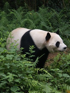 Giant Panda looking for its friend