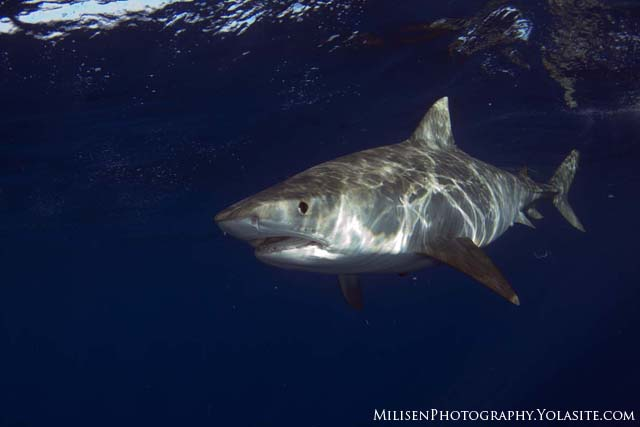 tiger shark 1280x800 - photo #33