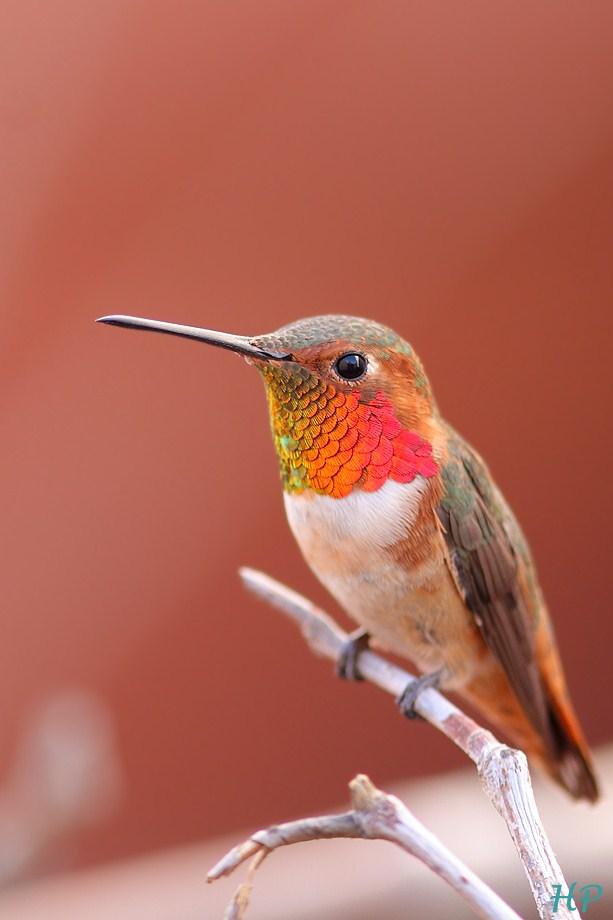 Allen's Hummingbird 011813