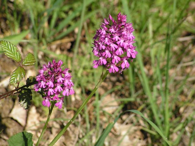 Orchidées en Pays de Bergerac
