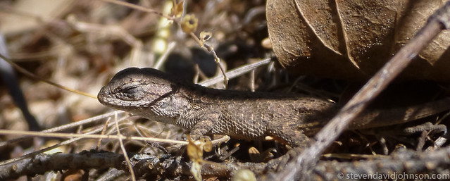 Sagebrush lizard, Lincoln, Oregon