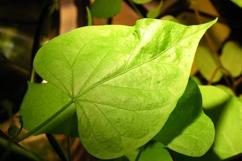 Q1151 Ipomoea purpurea by Gerris2