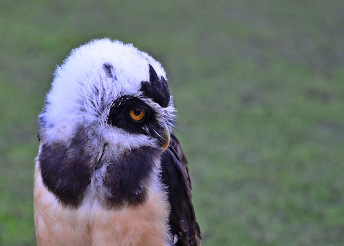 Spectacled Owl 2 by birbee