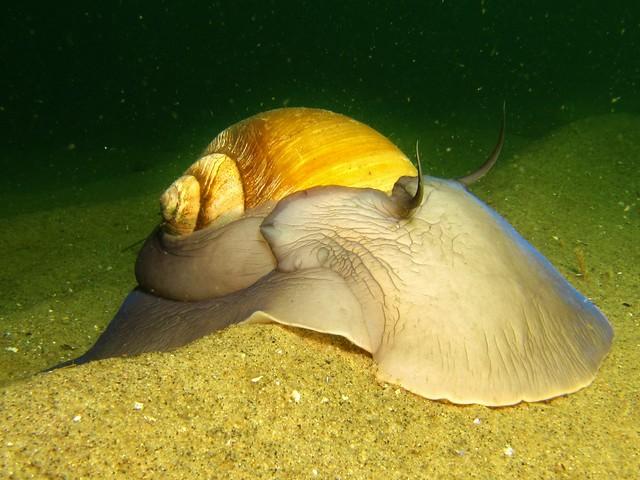 Moon Snail | Flickr - Photo Sharing!