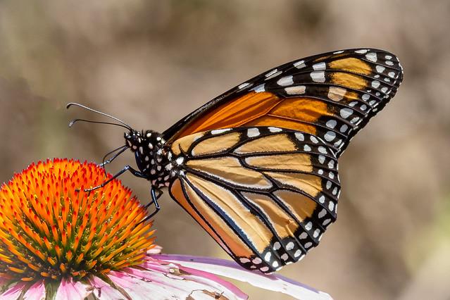 Monarchs are back