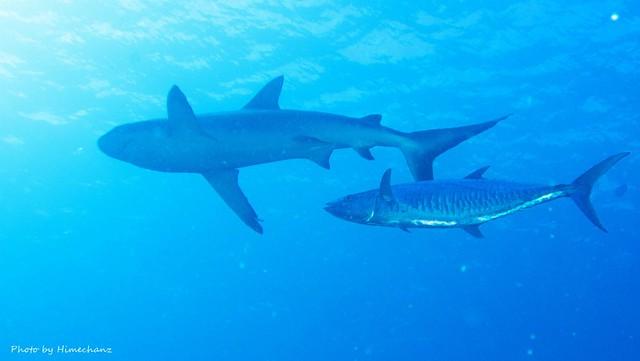 サメと一緒に巨大なサワラまで!
