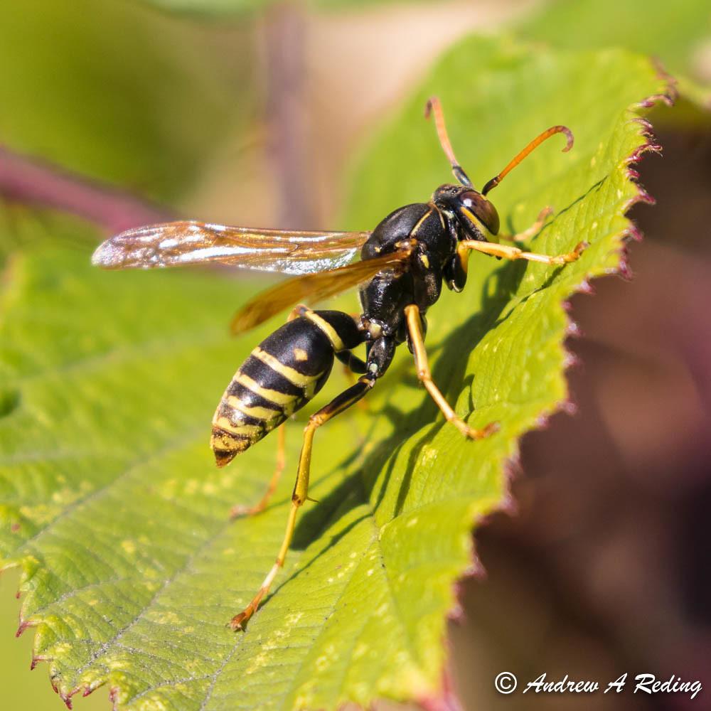 melanistic form of golden paper wasp