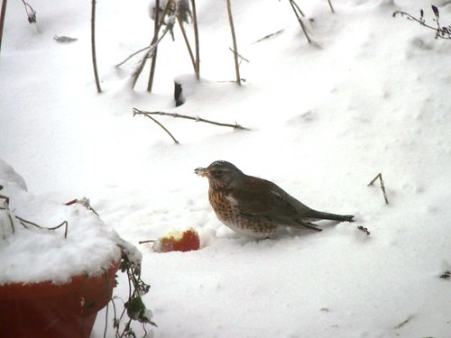 Thrush in snow