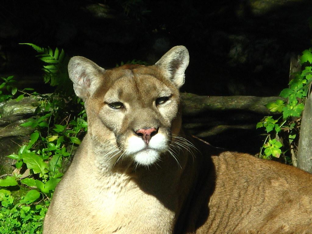 cougar a nice