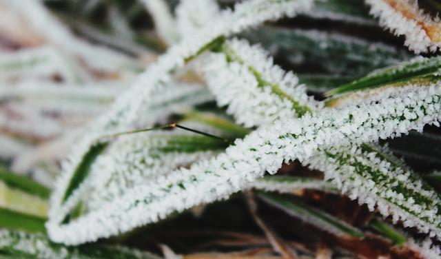 Frosty Plants 2